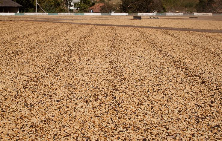 Pulped natural process coffee from Sítio Grota São Pedro drying
